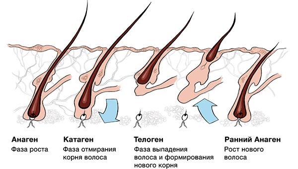фазы роста волос на теле